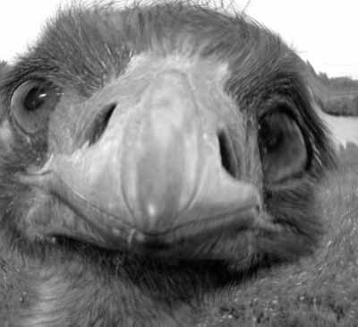 An Ostrich