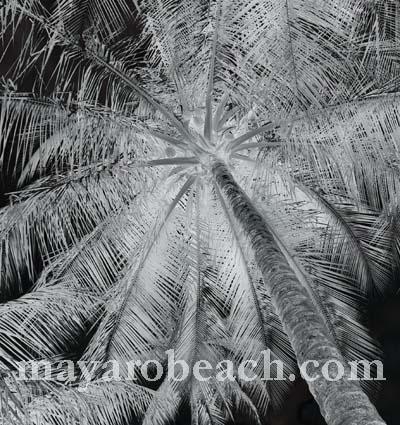 palm at mayaro