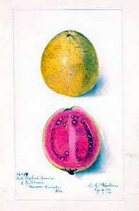 botanical-fruit-guava