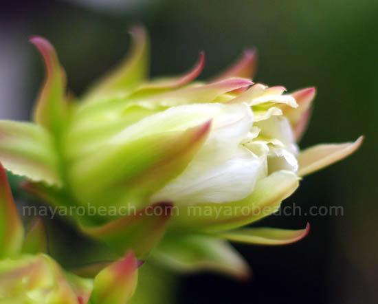 Cactus Flower in Trinidad and Tobago